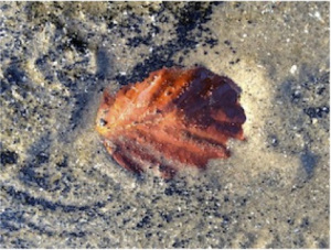 red-leaf-on-sand1